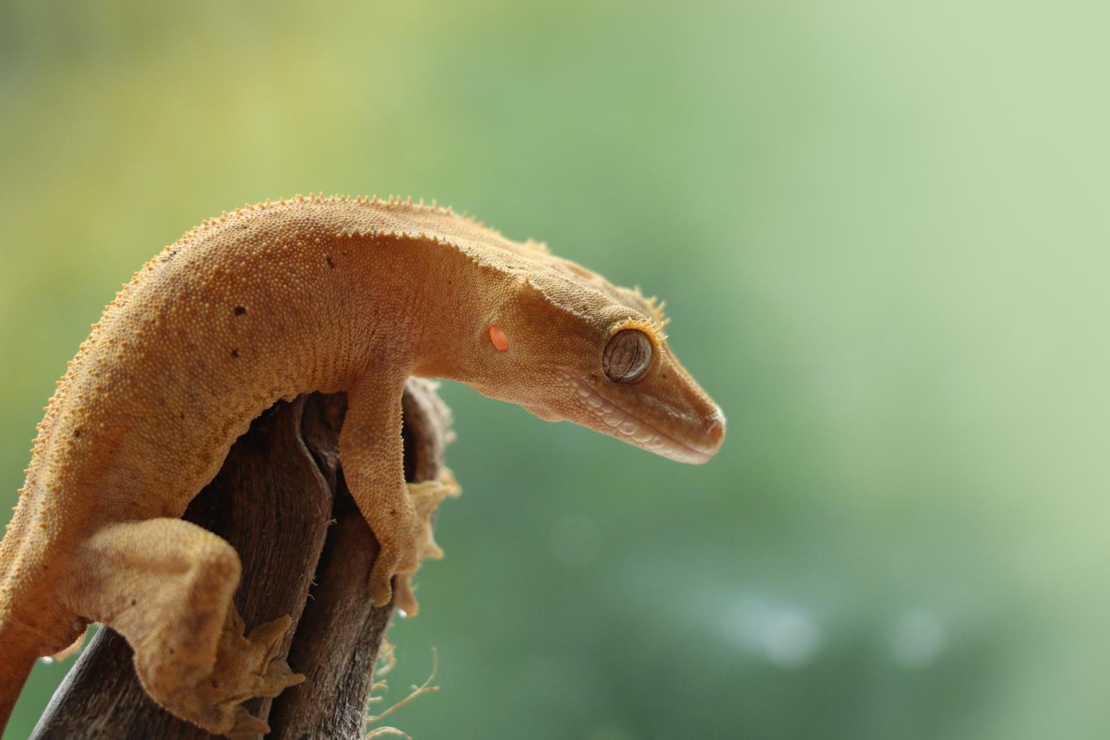 Stejně jako podstavce dronu, členitá chodidla gekona dovolují přichycení na velké množství povrchů