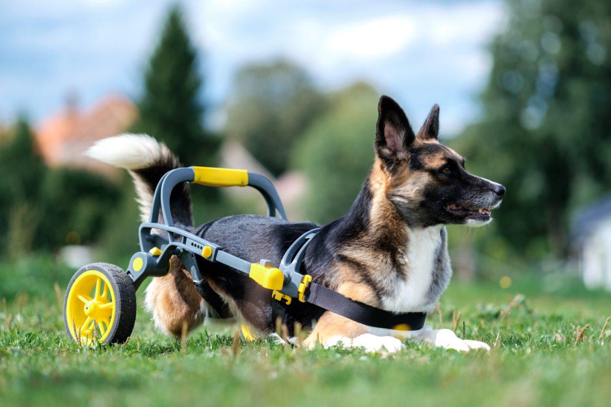 Verze invalidního vozíku určená pro větší psí plemena