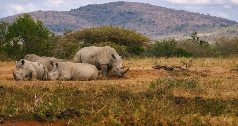 rhinos-min
